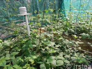 Dispositif en conditions contrôlées sur les interactions entre croissance de semis de chêne, action d'une espèce interférente (la ronce), plusieurs niveaux de ressource et d'herbivorie